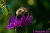 Honey bee on a Common Thistle by the Wild Wolf River within the Wolf River Refuge (USA WI White Lake)