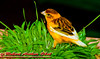Orange Canary in Bolz Conservancy of the Olbrich Botanical Gardens (USA WI Madison)