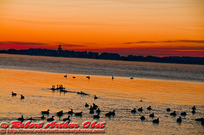 Crimson sunrise over Lake Mendota geese and ducks on Bishops Bay and the Wisconsin State Capitol (USA WI Middleton)