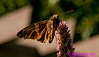 Moth or Heterocera on a Agastache scrophularlaefolia or Giant hyssop plant within Longenecker Gardens of the University of Wisconsin Madison Arboretum (USA WI Madison)