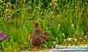 Willow Ptarmigan or Lagopus lagopus and its young among wildflowers near the Klondike Highway between Fraser British Columbia Canada and Skagway Alaska (USA Alaska Skagway; RAO 2011 Nikon D300s Image 7981)