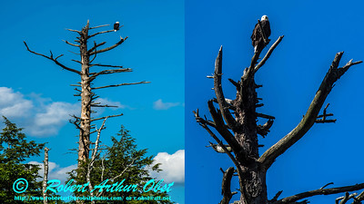 Bald Eagle or Haliaeetus leucocephalus sighting on Section 3 of the wild Wolf River between Twenty Day Rapids and Boy Scout Rapids within Langlade Country Wisconsin (USA WI Langlade; Obst FAV Photos Nikon D810 Daily Best 4240-4263-Collage)