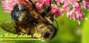DBObst_9946_NE-AW.WRRBEM-USA.WI.Langlade.WRR.HoneybeeOnFlowerByWolfRiverRefuge-B (DSC_9946.NEF)
