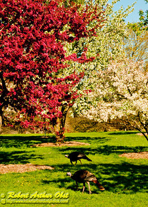 Flowering Apple Tree Red and White Blooms Explode over wild Turkeys within Longenecker Gardens of the University of Wisconsin Madison Arboretum (USA WI Madison)