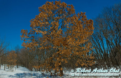 Perfect crystalline blue skies umbrella snowshoers as they pass a majestic oak or Quercus within Owen Conservation Park (USA WI Madison; Obst FAV Photos 2013 Daily Best Obst Nikon D800 Image 8284)