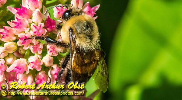 DBObst_9988_NE-AW.WRRBEM-USA.WI.Langlade.WRR.HoneybeeOnFlowerByWolfRiverRefuge-B (DSC_9988.NEF)