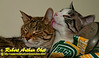 Green Bay Packer Fans' Cats or Felis catus in love necking in our family closet Autumn Breeze Obst and Winter Frost Obst  (USA WI Middleton; Obst FAV Photos 2012 Nikon D300s Daily Best Obst Image 1179 )