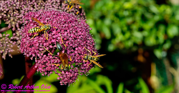 Close-up of wasps within the vegetable gardens of outside Olbrich Botanical Gardens (USA WI Madison)