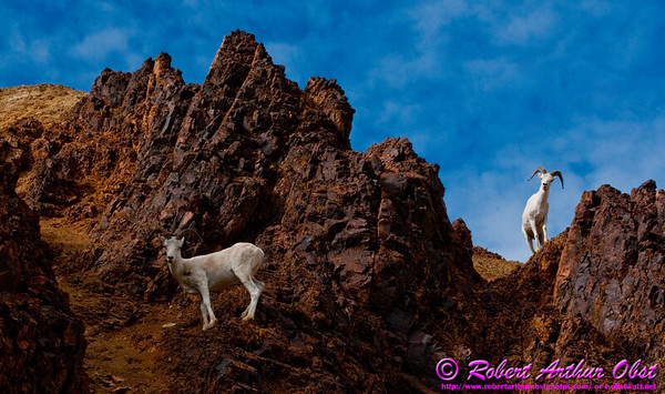 Hikers and mountain bicyclers and tour bus riders of the rugged gravel Denali Park Road are often eye to eye with wild Dall Sheep near Polychrome Pass within Denali National Park (USA Alaska Denali Park)