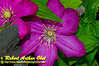 """"""" Gorgeous magenta Clematis in a flower Garden by the Wild Wolf River within the Wolf River Refuge (USA WI White Lake ) """""""