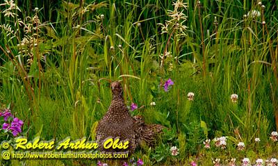 Willow Ptarmigan or Lagopus lagopus and its young among wildflowers near the Klondike Highway between Fraser British Columbia Canada and Skagway Alaska (USA Alaska Skagway)