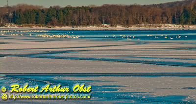 Cross country skiers New Year's Day view southeast over Lake Mendota of snow geese and partially fozen turquoise blue waters from Governor Nelson State Park (USA WI Middleton; RAO 2012 Nikon D300s Image 4378)