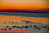 Crimson sunrise over the Wisconsin State Capitol of Madison and Lake Mendota geese and ducks on Bishops Bay (USA WI Middleton)