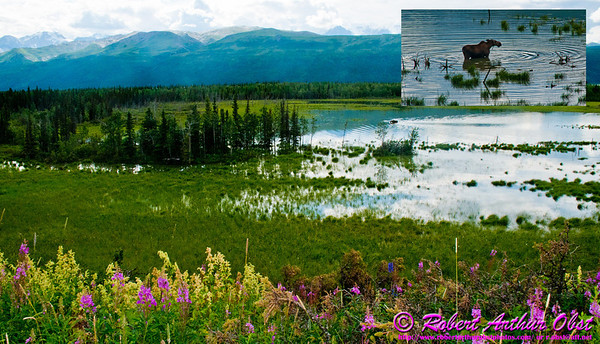 Following a Path from the Past - View from the historical Richardson Highway or Alaska Highway 4 of Moose grazing in backwaters of Delta River Valley near Donnelly between Fairbanks and Paxson (USA Alaska Donnelly; Obst FAV Photos 2011 Nikon D300 Daily Best Image 0485-0479-C)