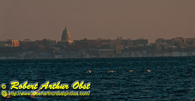 Cross country skiers winter, late afternoon view south across Lake Mendota from Governor Nelson State Park of snow geese flying and of the State of Wisconsin Capitol of Madison  (USA WI Middleton; RAO 2013 Nikon D300s Image 4466-C)