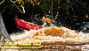 Open canoeist solo woman or OC1W blasting through the breaking wave train of Gilmores Mistake Rapids at 1400 frigid CFS or 25 inches on Section 3 of the wild Wolf River within Langlade County (USA WI White Lake; Obst FAV Photos 2013 Nikon D300s Daily Best Obst Image 5273)