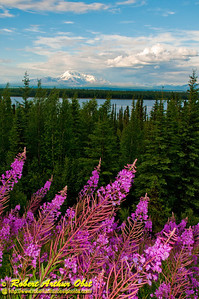 Fireweed and Willow Lake and gorgeous evening light frames Mount Drum and Mount Wrangell within Wrangell St. Elias National Park and Preserve (USA Alaska Copper Center)