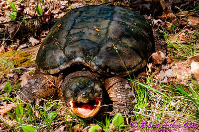 Moody Common Snapping Turtle on the banks of the wild Wolf River near Cedar Rapids (USA WI White Lake)