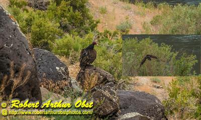 DBObst_6695_ATO.WestUSACanada2014-USA.ID.Eagle.MNSnakeRiverBirdsOfPreyNCA.Hiking.TurkeyVulture-CB (DSC_6695-CB)