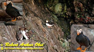 Puffins and other shorebirds inhabit the cliff bound shores of southeast Resurrection Bay near Driftwood Bay State Marine Park and within Kenai Fjords National Park of the Kenai Peninsula (USA Alaska Seward)