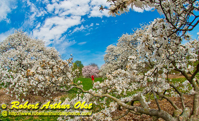 Spring has Sprung - Gorgeous blue skies and Magnolia stellata or Waterlily Star Magnolia blooms frame hiker within Longenecker Gardens of the University of Wisconsin Madison Arboretum (USA WI Madison; Obst FAV Photos 2013 Nikon D800 Daily Best Obst Image 9058)