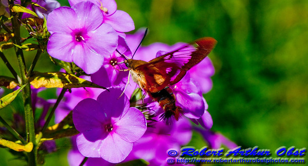 Hummingbird Clearwing Moth or Hemaris thysbe of the Sphingidae family in a flower Garden by the Wild Wolf River within the Wolf River Refuge (USA WI White Lake)