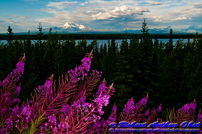 Fireweed and Willow Lake and gorgeous evening light frames Mount Drum and Mount Wrangell within Wrangell-St. Elias National Park and Preserve (USA Alaska Copper Center)