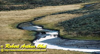 DB-Obst_0735_USA.WY.YellowstoneNationalPark.GrizzlyBearCrossingYRTributaryWithinHaydenValley-B  (DSC_0735.NEF)