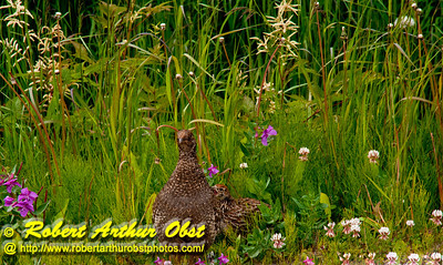 Willow Ptarmigan or Lagopus lagopus and its young among wildflowers near the Klondike Highway between Fraser British Columbia Canada and Skagway Alaska (USA Alaska Skagway)