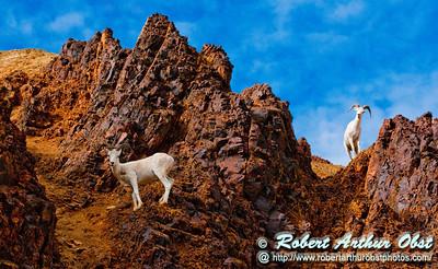 Eye to eye with Dall Sheep near Denali Park Road and Polychrome Pass within Denali National Park (USA Alaska Denali Park)