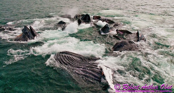 Humpback whales bubble net feeding surprisingly close to our boat within the Lynn Canal near Auke Bay of the Pacific Ocean (USA Alaska Juneau; RAO 2011 Nikon D300s Image 7798)
