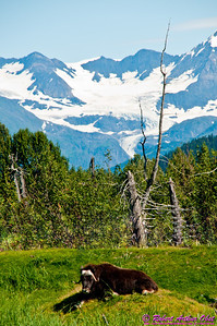 Hiker's view of snowy mountains towering behind an Alaskan Muskoxen or Ovibos Moschatus on a trail within the Alaska Wildlife Conservation Center (USA Alaska Portage)
