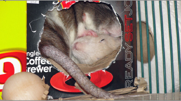 Sleepy Pet Rats Snuggle and Demonstrate Social Grooming. Two sardine rats in one tiny box.