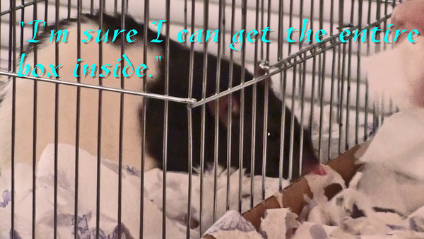 "Jerry rat demands his paper and he gets it. His purpose in life in this moment is to fill his box with tissue, and so the proper human assists him in this goal. This video also belongs in the Enrichment section of JoinRats under ""Rats Stash Stuff""."