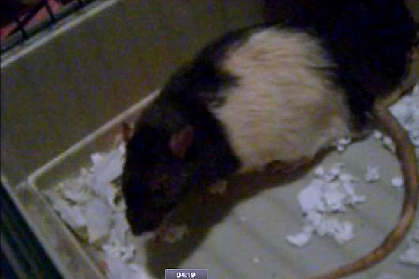 "Part 2 of 2 of the long, 17 total minutes version, of pet rat Stripe showing respiratory symptoms when in fact he had (undiagnosed) heart problems. Karen Borga filmed him during an ""episode"" and sent the video to a vet for diagnosis, because Stripe didn't always show symptoms. Stripe appears distressed, but then calms."
