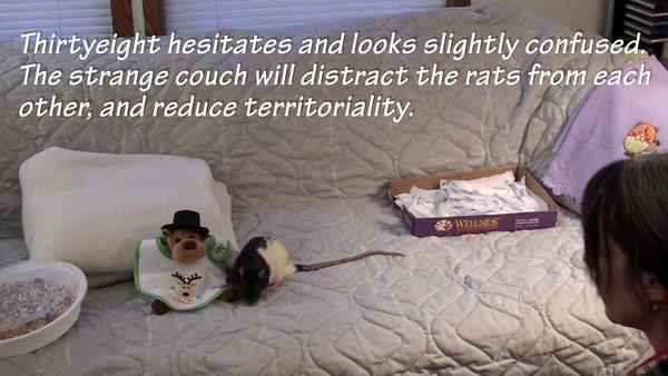 """(A) FIRST FACE-TO-FACE MEETING OF TWO RATS. On a neutral open space, the rats wander until they choose to meet each other. Karen's """"Glove Rat"""" intervention tool keeps close to them as they inspect each other, and choose to be nice. This isn't always how it goes; in fact these two same rats were very aggressive to each other only two months previously. That video can be seen in the """"Techniques to Introduce Rats to Rats"""" gallery,"""