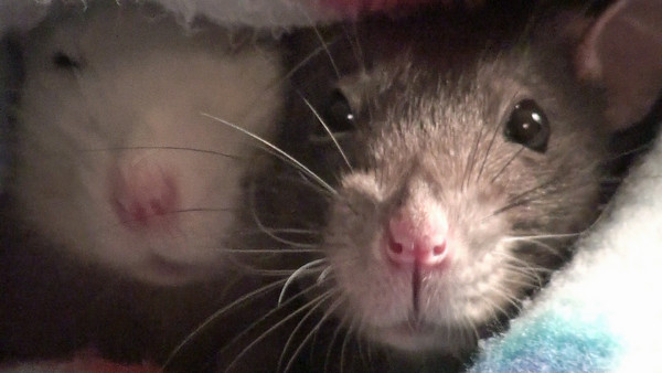Noses and Hiccups (and Some Bruxing Too), to Music. What can you do but film when the rats are happy, snuggled, and working those noses and hiccups to melt your heart?