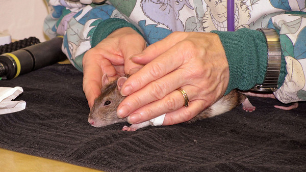 <p>Dr. Carolynn Harvey, located in the East Bay, California, examines Bonny Bon-Bon in mid-December 2009. Bonny is sick but her symptoms are mild and confusing. This exam goes through many diagnostic elements in an exam, including some for assessing hind-leg weakness. </p>  <p>Dr. Harvey's diagnosis is removed from this video because  over the following 3 weeks, Bonny became very ill with new symptoms. Bonny then went on a roller-coaster ride from near-death, to 'okay,' several times, and unfortunately, due to Gwen's travel schedule, Dr. Harvey could not provide follow-up. Another vet provided symptomatic relief, but Bonny died on January 4, 2010, and a necropsy was not performed.</p>