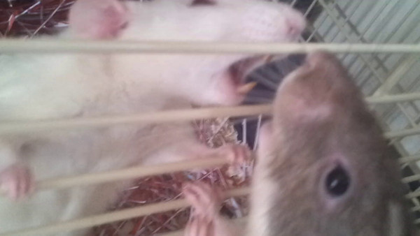 These rats are not introduced and meet accidentally, with only bars separating them. This is clearly real aggression. Not the kind of social agonism that we see with bonded cagemates.