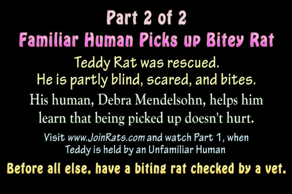 Part 2 of 2 - Stranger Gwen interacts with Teddy and decides not to try to pick him up. What is the body language of a scared and bitey rat, when a human interacts with him to help him trust? What does it take to pick up a scared and bitey rat? Debra Mendelsohn talks about Teddy Rat and pets and scritches him and then picks him up. You can hear that rat SCREECH! Yikes, he scared me (holding the camera). But on Debra's arm he calms down a great deal. He is learning to trust.