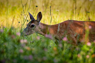 Doe In Wildflowers