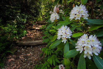 Rosebay Rhododendron on Appalachian Trail