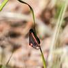 Karminspinnare