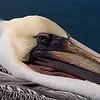 Pelican #1