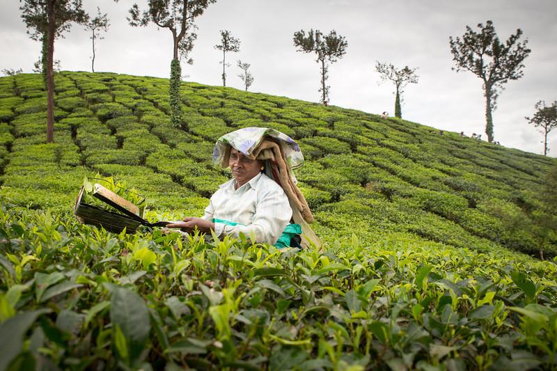 Woman picking tea leaves nearby Kalpetta, Wayanad