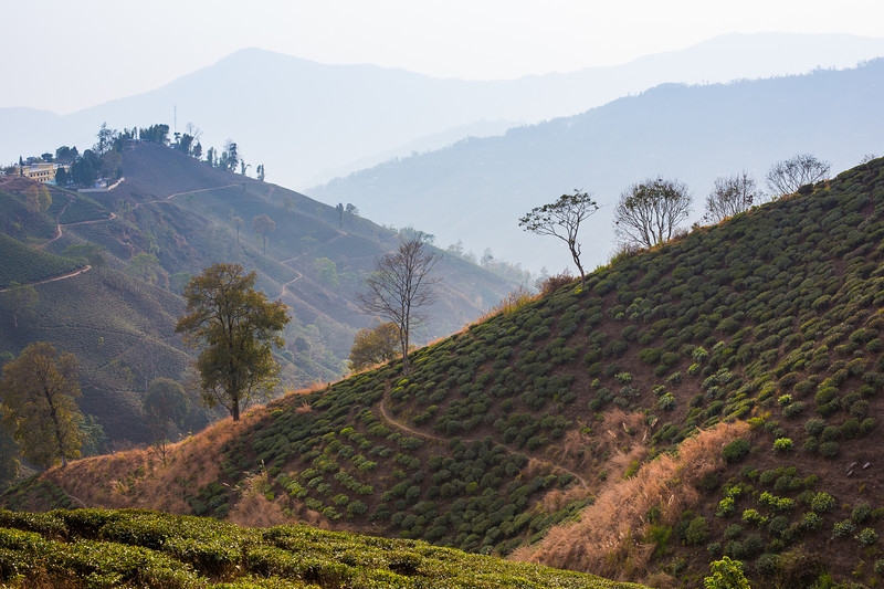 The tea plantations of Ilam - Eastern Nepal