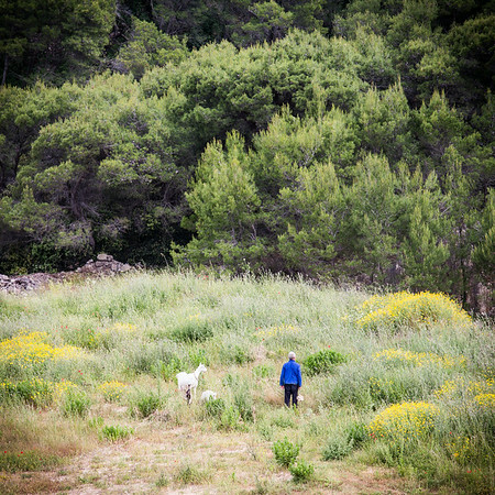 Taking the goats for a walk - Brac, Croatia