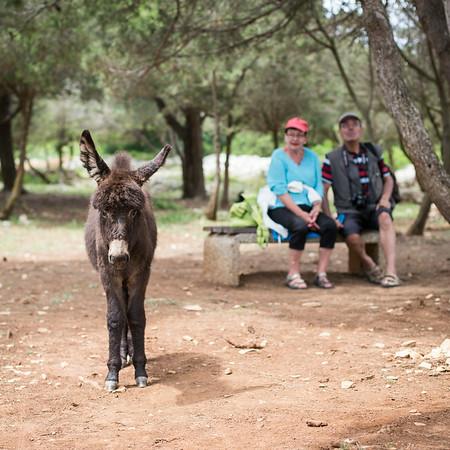 Wild donkey on Dugi Otok, Croatia