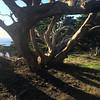 Weston tree at south Point