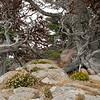 Dune buckwheat and cypress